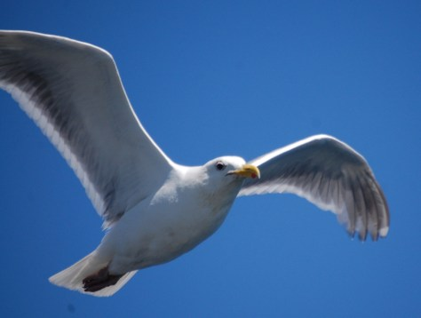 A seagull glides gracefully alongside the ferry.