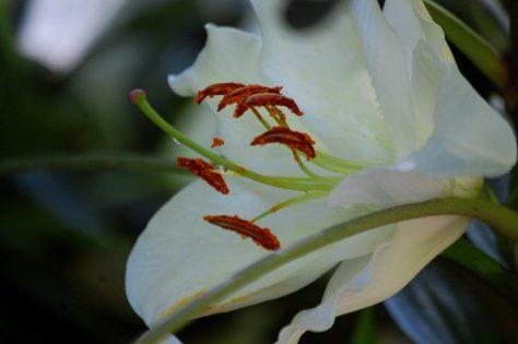 Amazing Lily 1