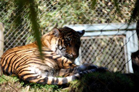 A tiger relaxes