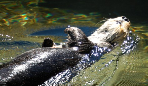 A playful otter does the backstroke