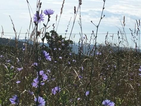 A field of Chicory wildflowers Virginia/Kentucky border