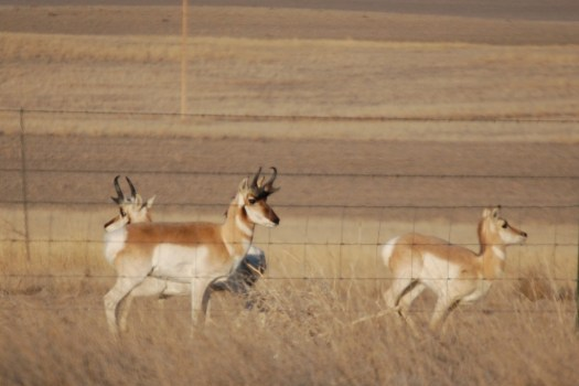 Pronghorn Antelope off if Hwy 59