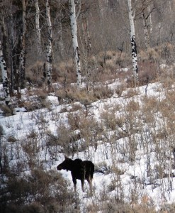 Moose on Gros Ventre Rd.