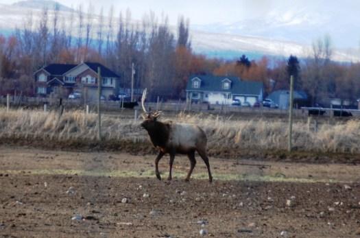 One antlered elk bull on a breeding farm near Archer, ID