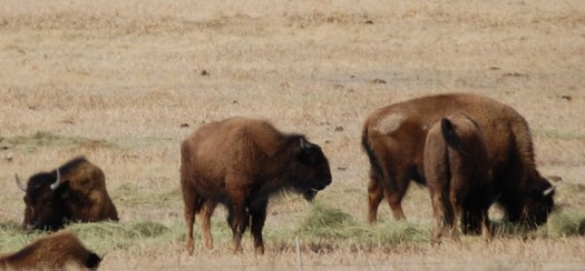 More of the Buffaloes