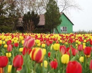 Tulip Field - Oxford County, Ontario