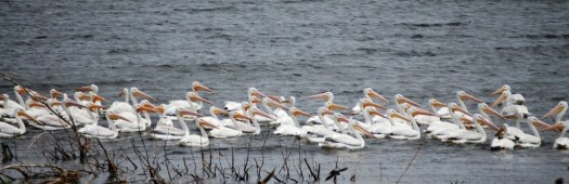 Pelicans in Lake Andes, SD