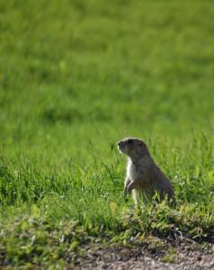 Prairie Dog - Cactus Flats, SD