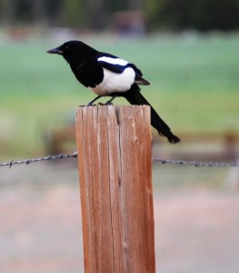 A Black Billed Magpie on a fencepost in Wapiti