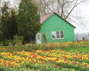 Tulip farm in southern Oxford County, Ontario