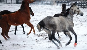 Thoroughbreds frolicking in the snow in Woodford County, KY