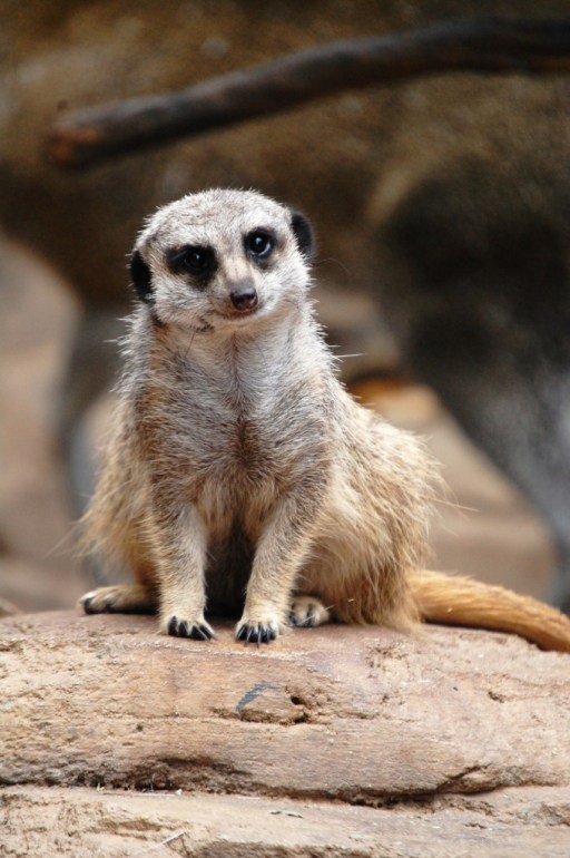 The Meerkats are my favorite animal at the zoo.  This one posed for me!