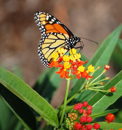Monarch Butterfly seen n outdoor garden at Butterfly House
