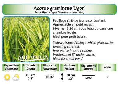 ACORUS GRAMINEUS OGON_5X7
