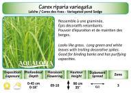 CAREX RIPARIA VARIEGATA_5X7