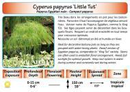 CYPERUS PAPYRUS LITTLE TUT_5X7