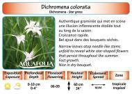 DICHROMENA COLORATA_5X7