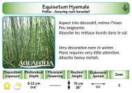 EQUISETUM HYEMALE_5X7