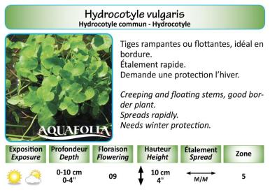 HYDROCOTYLE VULGARIS_5X7