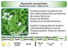 MYOSOTSIS SCORPIOIDES_5X7