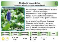 PONTEDERIA CORDATA_5X7
