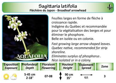 SAGITTARIA LATIFOLIA_5X7