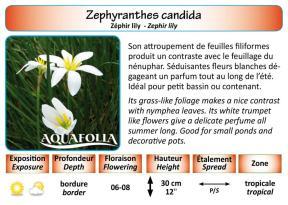 ZEPHYRANTHES CANDIDA_5X7