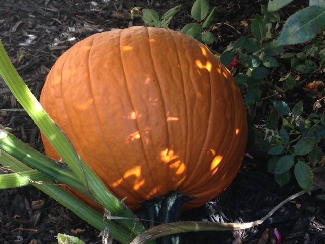 full grown pumpkin - pumpkin life cycle