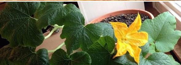 pumpkin flower on vine - life cycle of a pumpkin