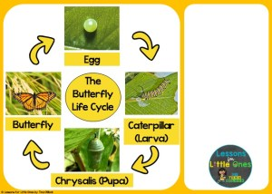 butterfly life cycle sequencing