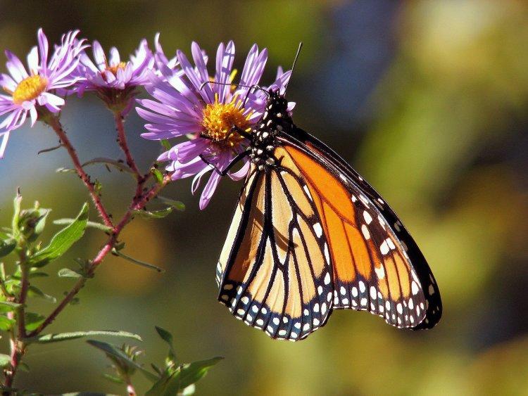 butterfly-17057_1920