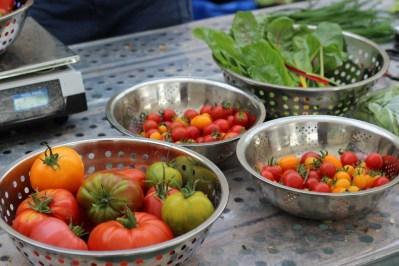 tomates récolte hydroponie
