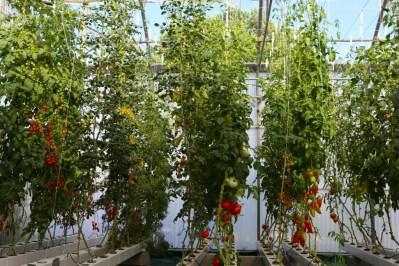 tomate culture hydroponie