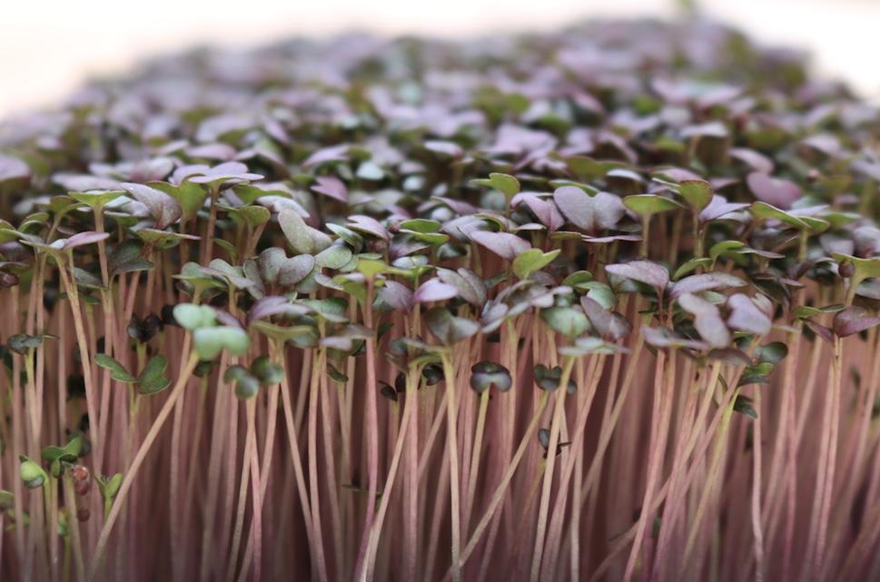 comment faire pousser des micropousses - Les Sourciers