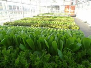 lettuce at Urban Farmers