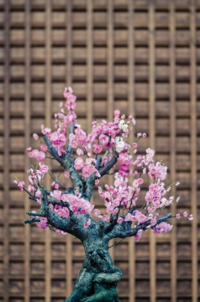 bonsai tree in Japan