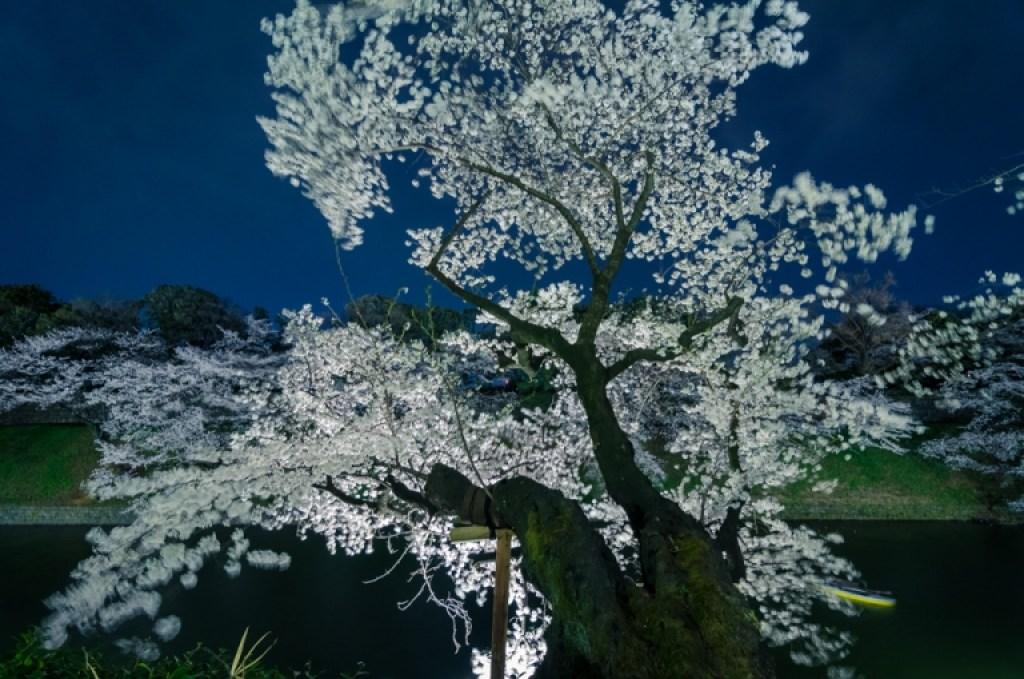 Cherry Blossom at full bloom