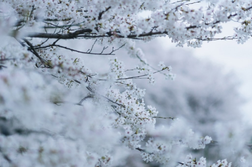 photo of cherry blossom branches