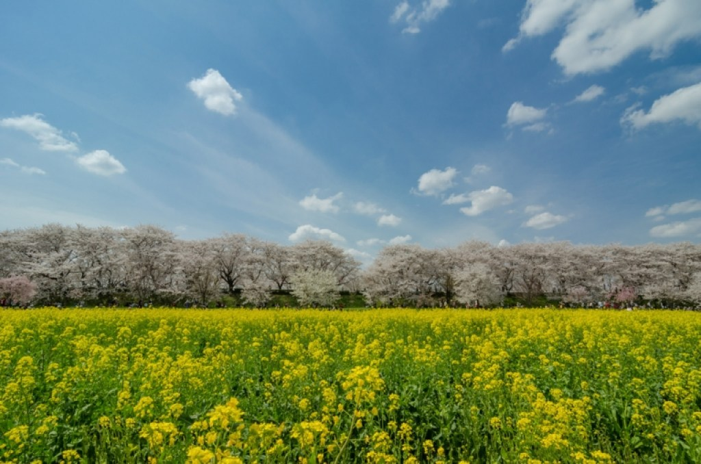 Photo of cherry blossoms and field