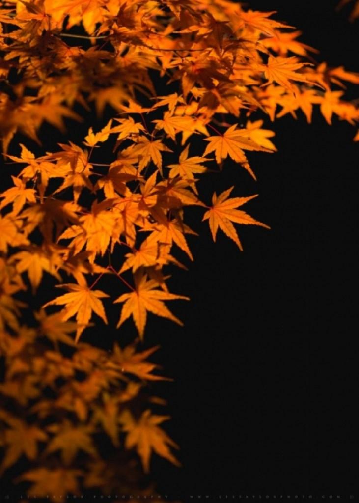 illuminated fall leaves