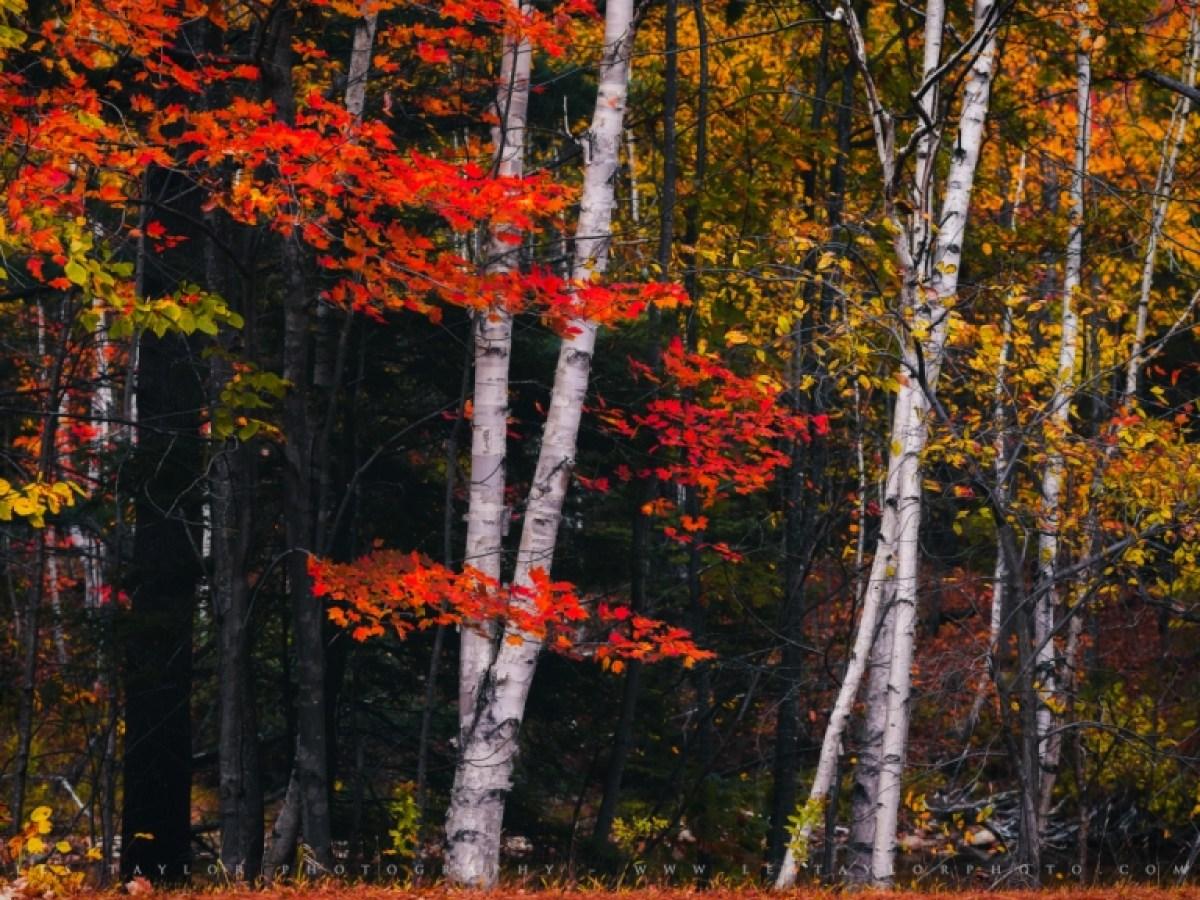 Birch Trees White Mountains