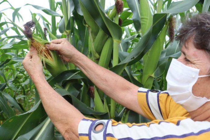 Áreas cedidas pela CENIBRA em Ipaba são utilizadas por agricultores familiares