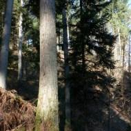 Combe 1 (C1) mélèze de 52 m (point 1 sur le plan)