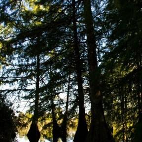 Cyprès chauves, étang de Boulieu, Saint Baudille Isère, Agnès Guillaume (8)