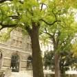 Noyers noirs Jardin des plantes de Paris (3)