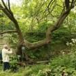 Pistachier Jardin des plantes de Paris (28)