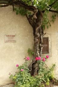 Vigne d'Arbois, Franche Comté, Yannick Morhan (30)
