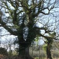gros chêne de coet an bars, Mellionnec, Côtes d'Armor, Yannick Morhan (2)