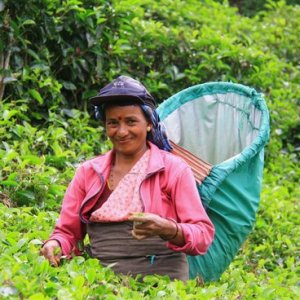 Thés du Sri Lanka
