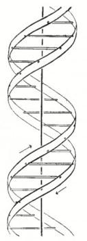 La doppia elica così come appare nell'articolo del 1953 di Watson e Crick (Nature 171, 737-738 (1953)).
